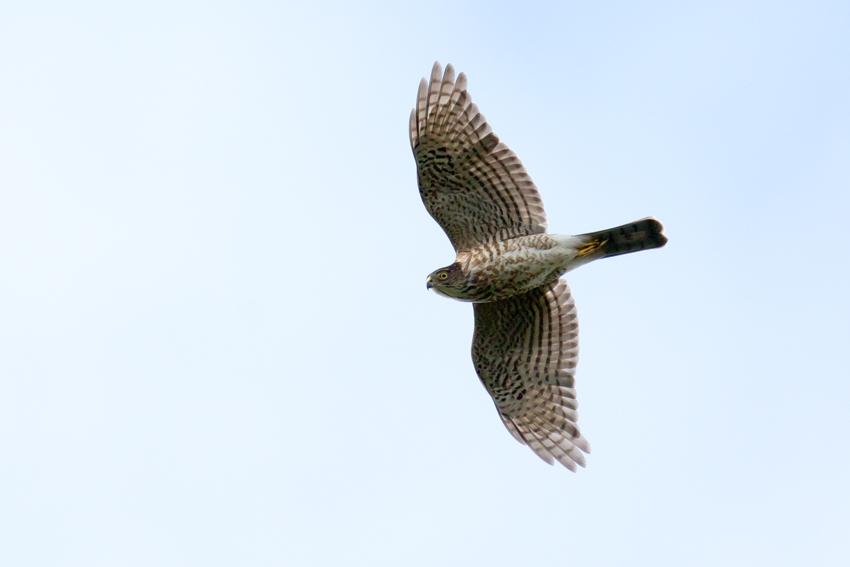 151117ツミ幼鳥