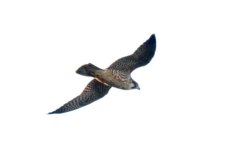 151118ハヤブサ幼鳥