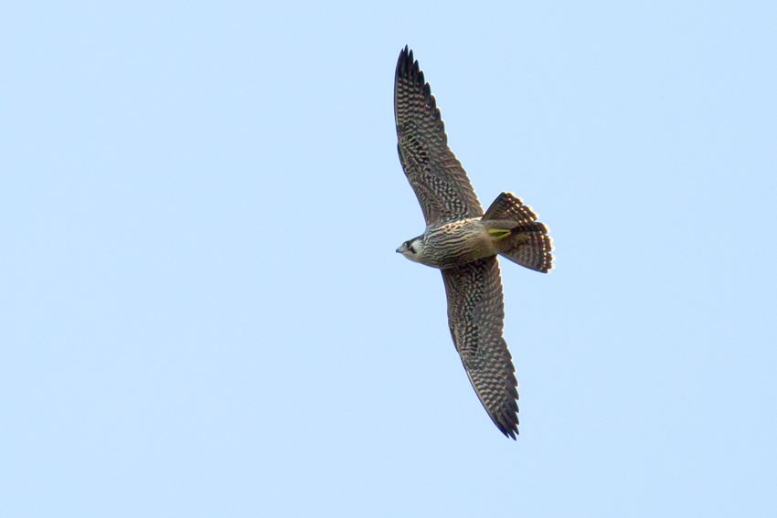 151124ハヤブサ幼鳥