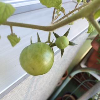 20151105トマト