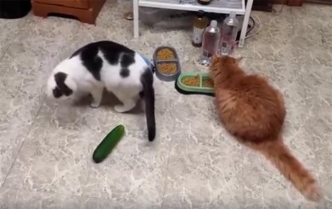 CatsVSCucumbers2