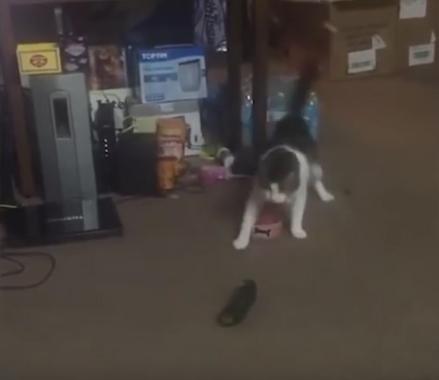 CatsVSCucumbers5