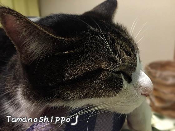 疲れて寝る猫(ちび)