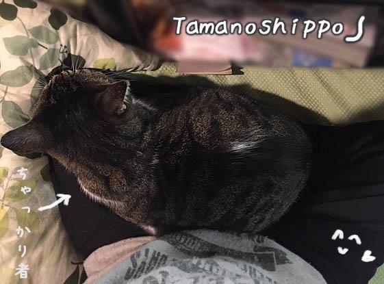 膝の上に座る猫(ちびニャン)