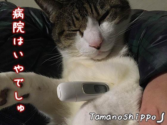 体温計と猫(ちび)2