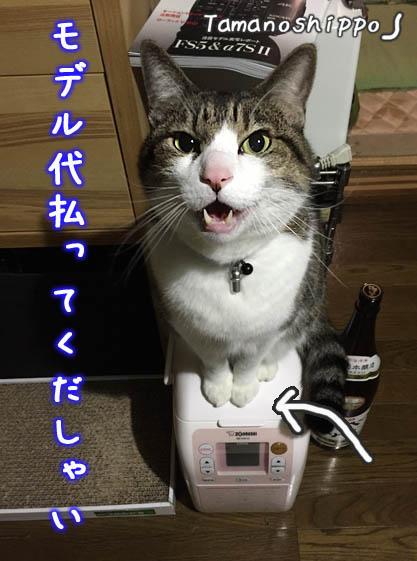 モデル代を払ってくだしゃい(ちび)文句を言う猫