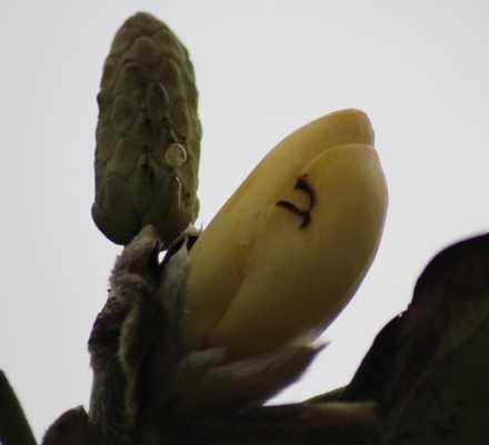 黄モクレン 1