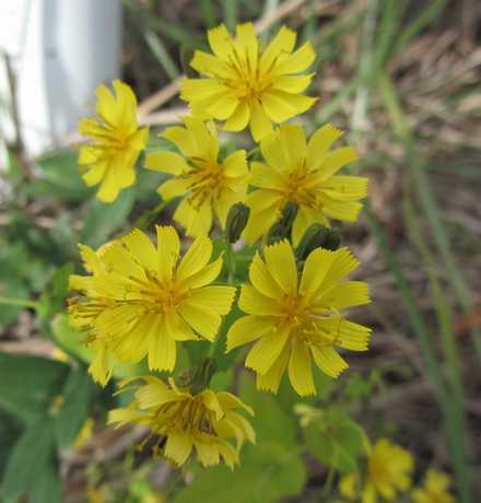 黄色の花(オオジシバリ)