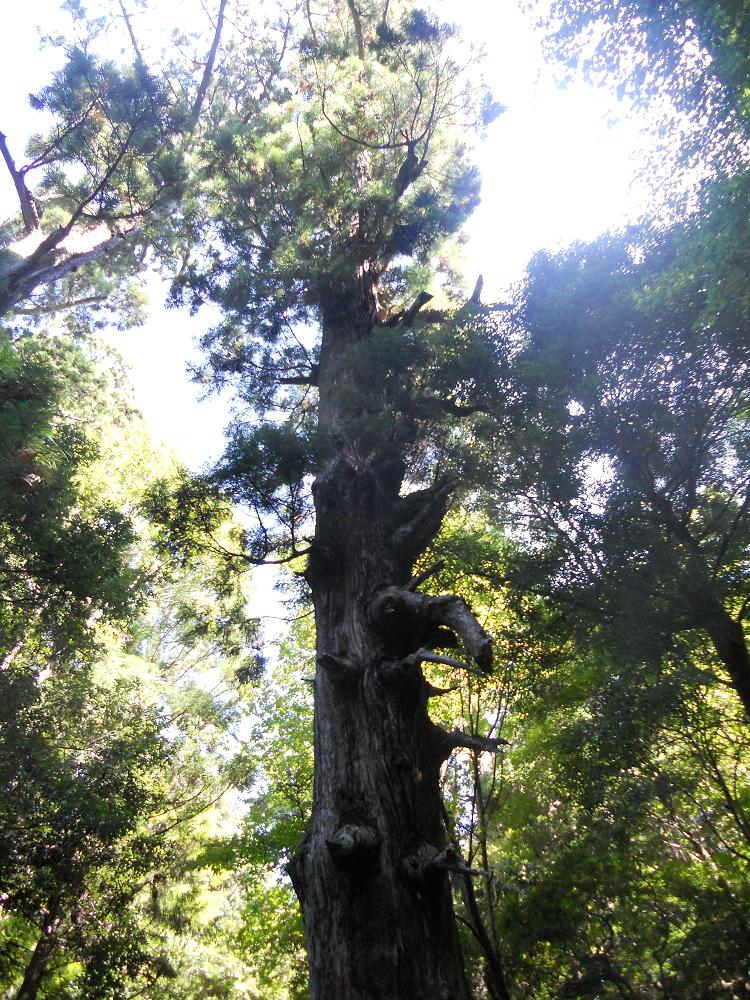 首切り地蔵杉の木-velvet
