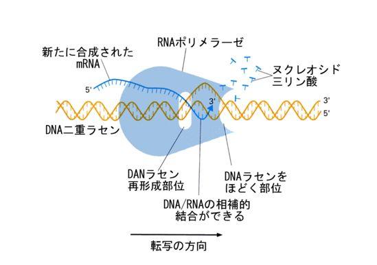 RNAポリメラーゼ