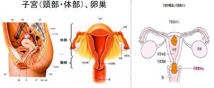 子宮頸がんの解剖
