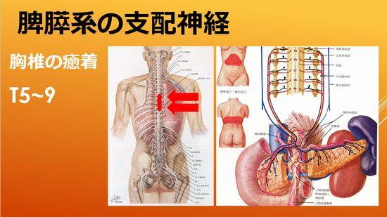 すい臓の神経支配