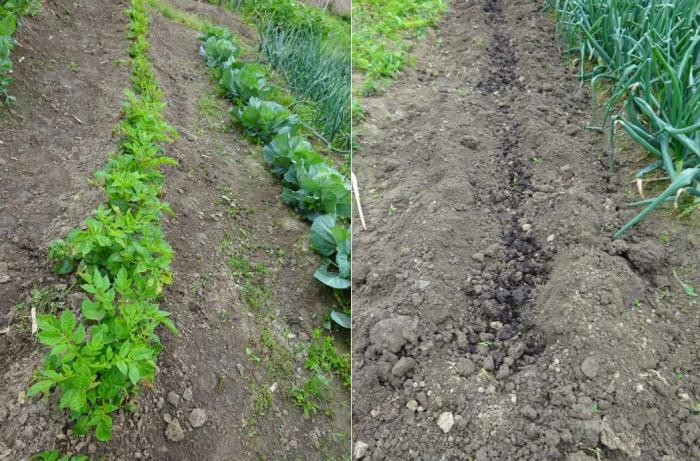 畑のジャガイモと土づくり_convert_20160421175224_convert_20160421175830