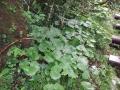 カニコウモリ花