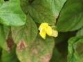 ツルアズキ花