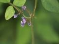 ツルマメ花