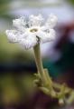 ヘビウリ花
