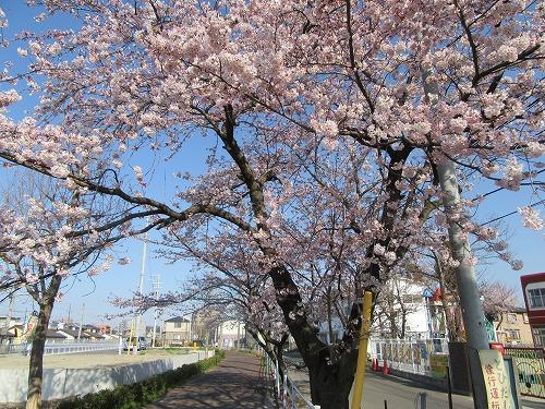 1604sakura1001.jpg