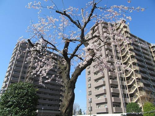 1604sakura1003.jpg