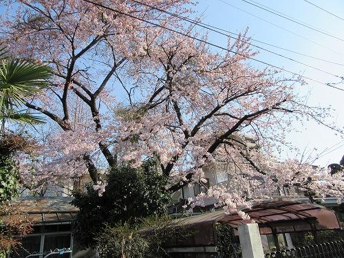 1604sakura1004.jpg