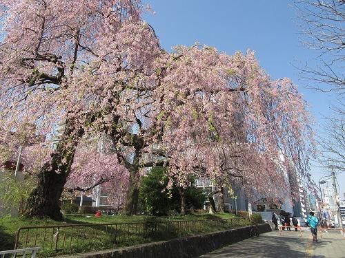 1604sakura2001.jpg