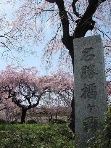 1604sakura2002.jpg