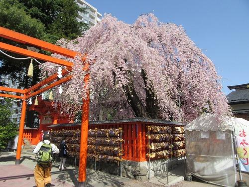 1604sakura2011.jpg