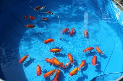 親魚池1_サイズ変更