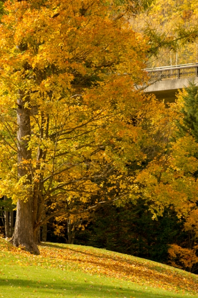 黄色の落ち葉と木-8120