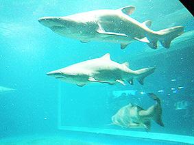 サメ20150925