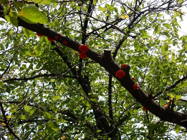 木の枝にキノコ