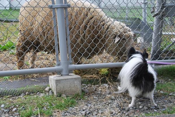 羊とルビー1