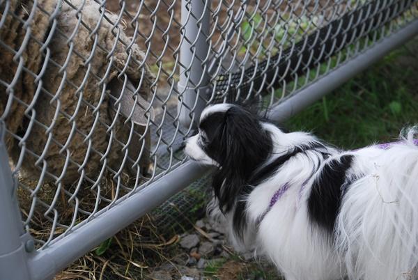 羊とルビー2