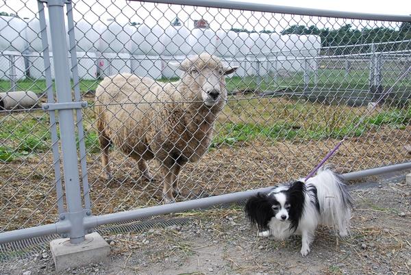 羊とルビー3