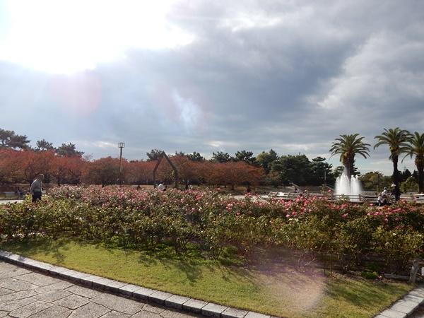 秋バラと桜の紅葉