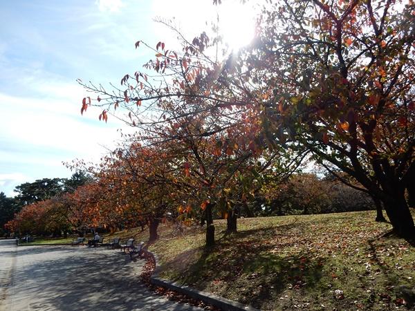 噴水前の桜の木