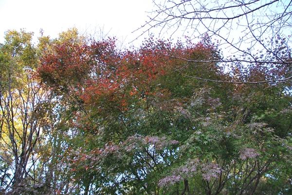 イロハモミジ紅葉はこれから?