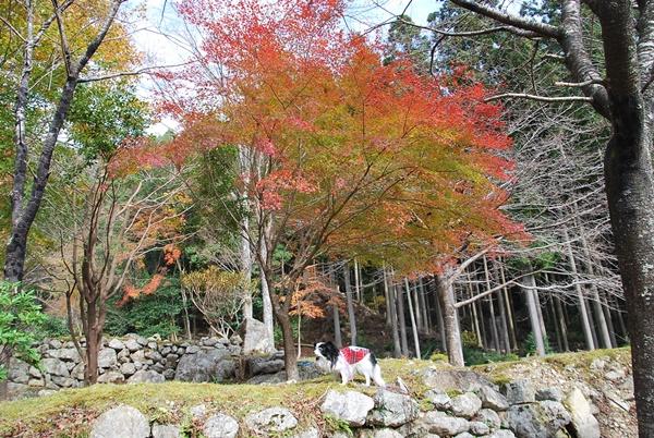 泰運寺園地紅葉とルビー1