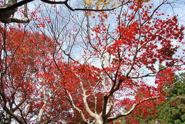 泰運寺真っ赤な紅葉
