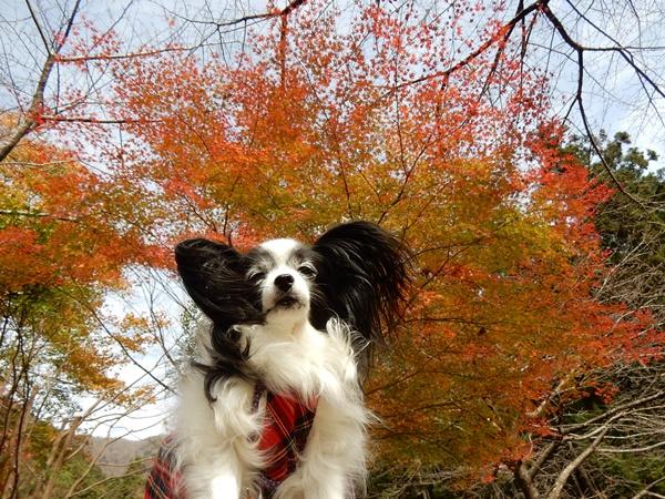 泰運寺園地紅葉とルビー2