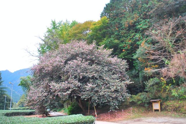 さざんかの大木