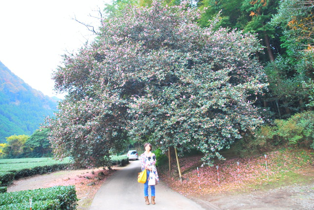 さざんかの大木の前で