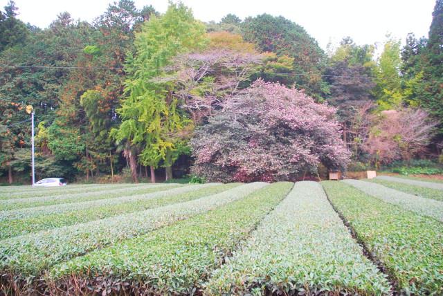 茶畑とさざんかの大木