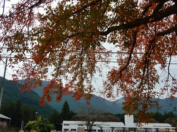 ハナノキの紅葉3