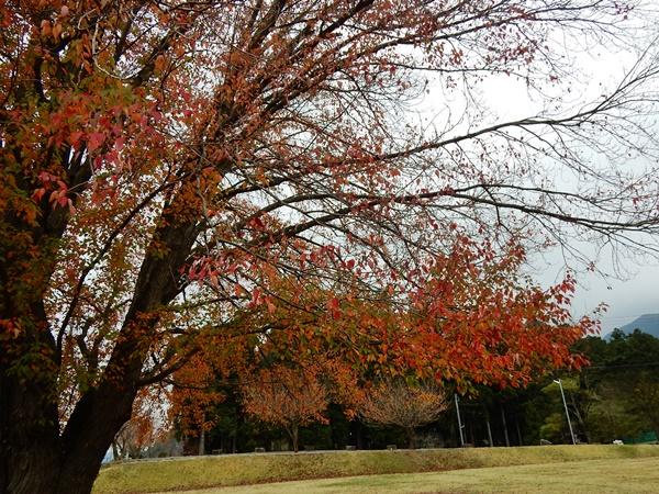 ハナノキの紅葉4