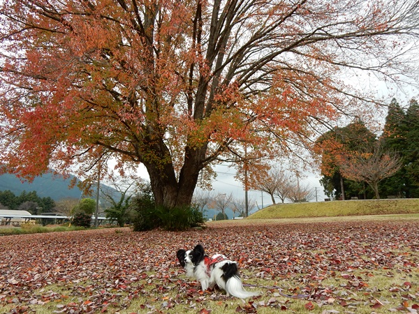 ハナノキの紅葉とルビー