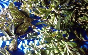 2015びわの葉