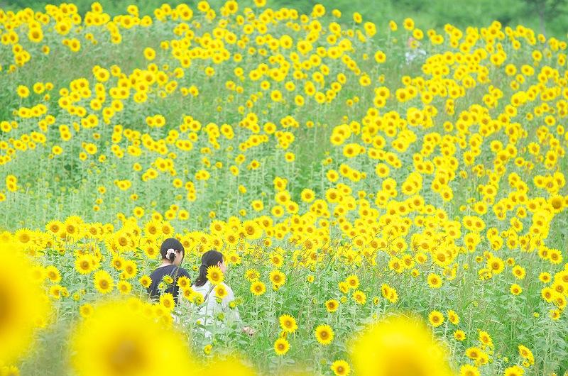 三ノ倉高原のひまわり畑  1