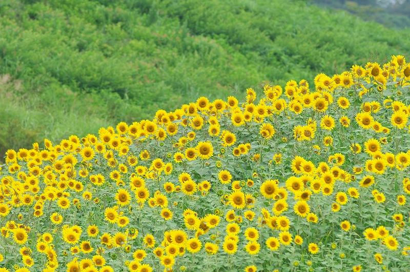 三ノ倉高原のひまわり畑  2