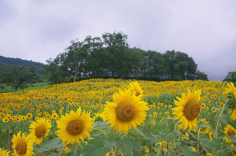三ノ倉高原のひまわり畑  3  ~ひまわりの咲く頃~